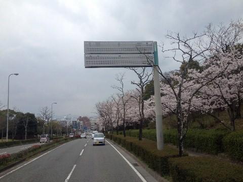 イオンモール福岡までのサクラ道1