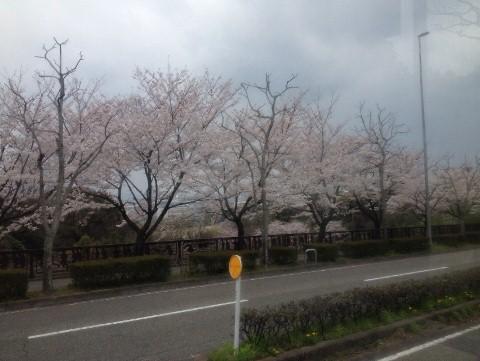 イオンモール福岡までのサクラ道2