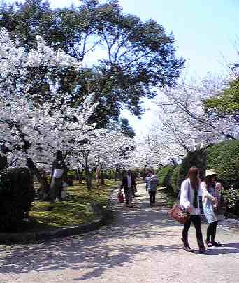 湊山公園桜満開風景